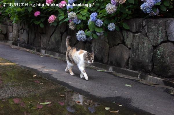 2016062307猫と水たまり。1