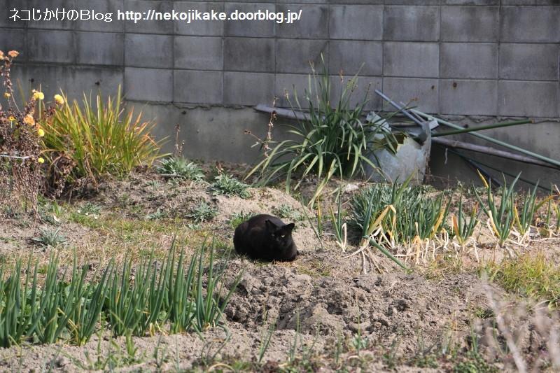 2019021804ネギ畑に黒ネコ。