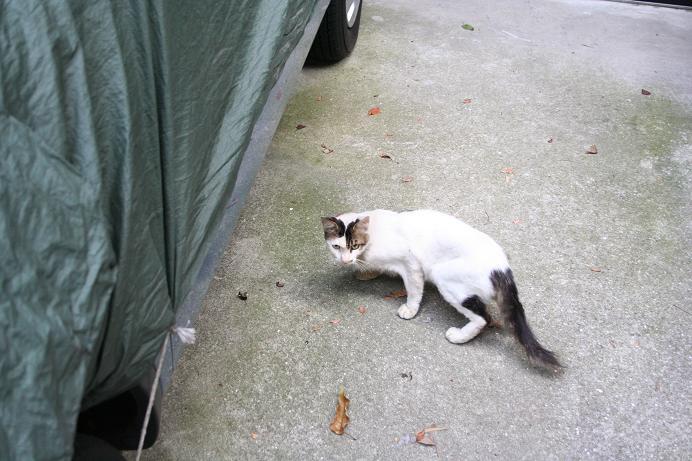 ノラネコと仲良しになりたい。近所ネコ