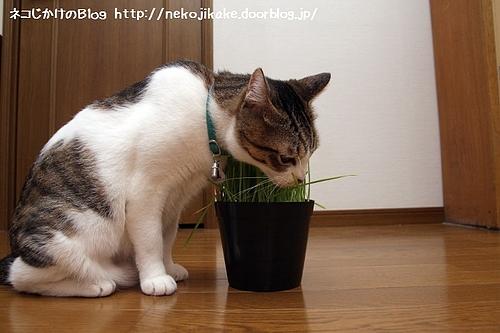 草を食らう。