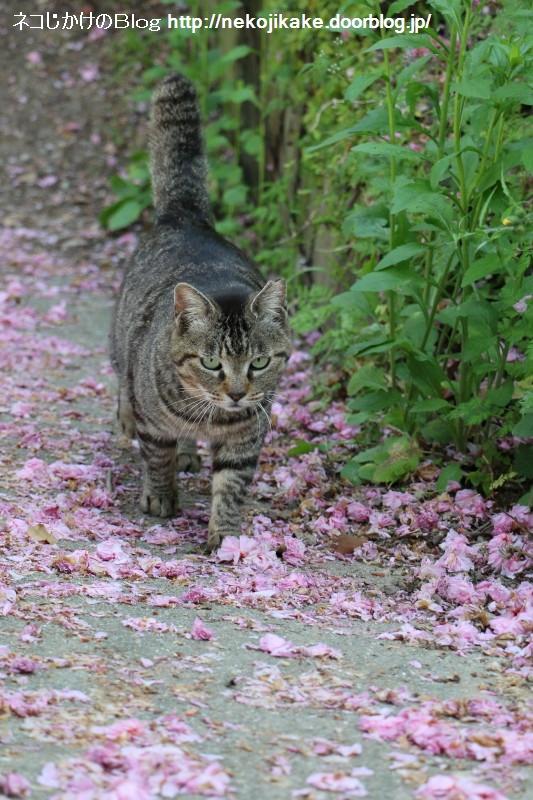 2015042502桜散る季節。1