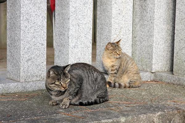 白眼視。キジトラ サビトラ子ネコ