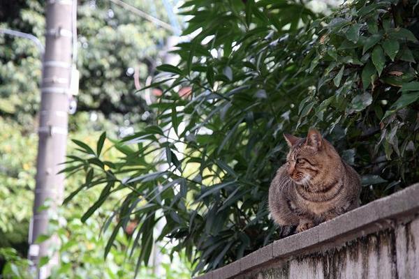 塀の上にネコ。その1 キジトラ