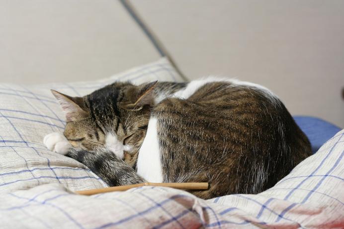 やっぱり寝ている。シマ