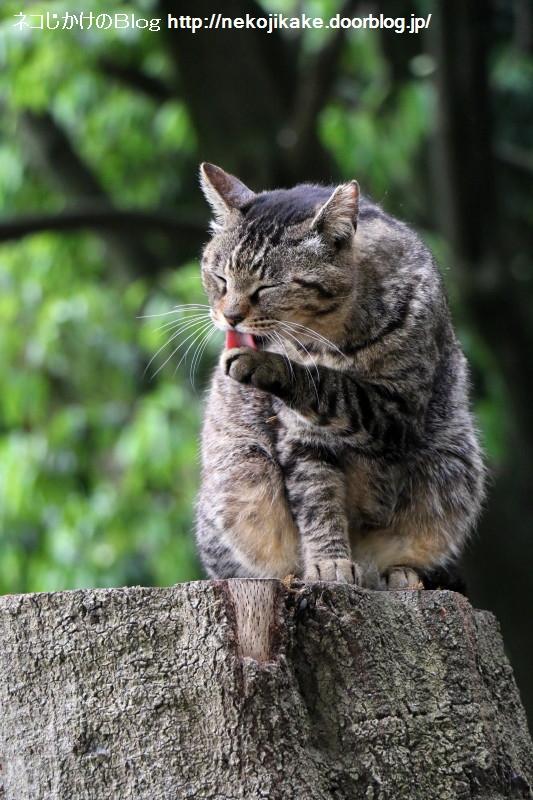 2015042803猫舌。1