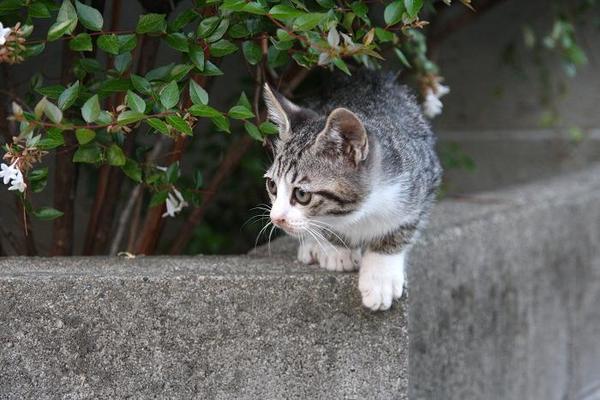 ちょっと冒険。その1 キジ白子ネコ
