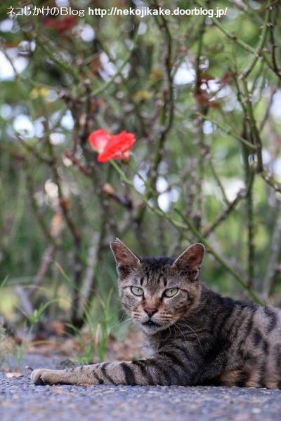 2016073007薔薇と猫。4