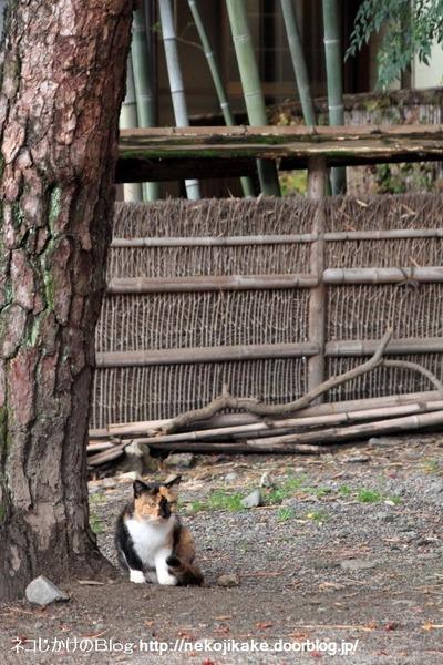 2014112906松竹猫。