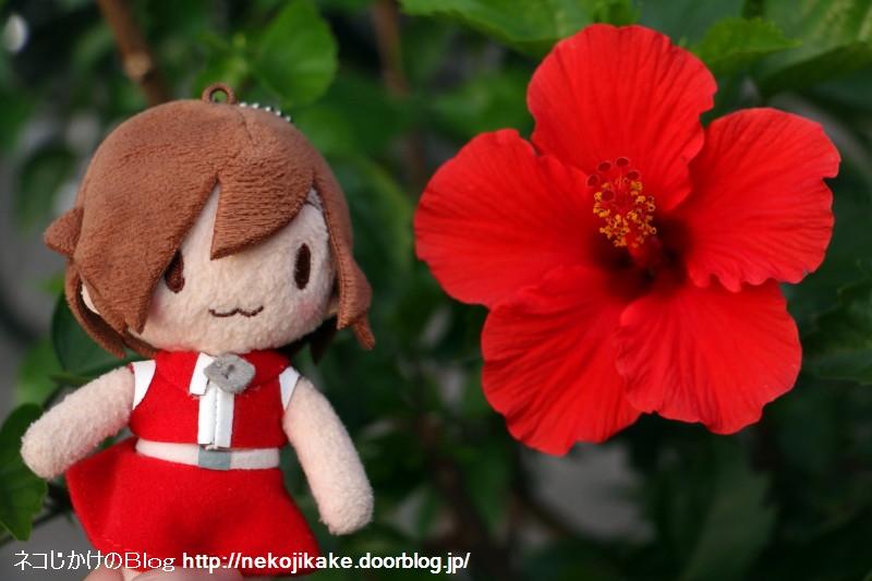 2019103003ブッソウゲの赤い花。