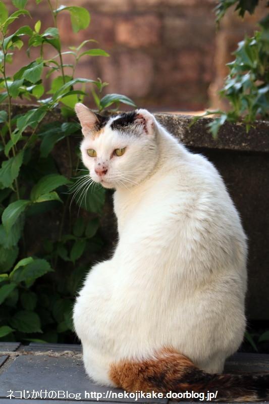 2015060603今日の三毛猫。1