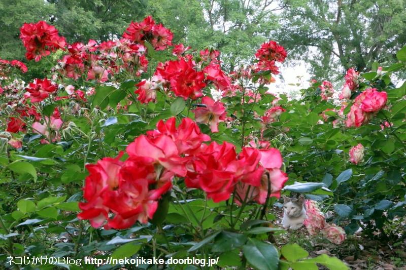 2015052511バラを愛でる。