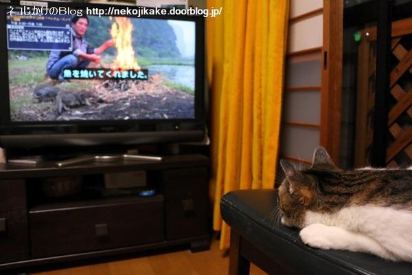 2016090302世界ネコ歩きとネコ。1