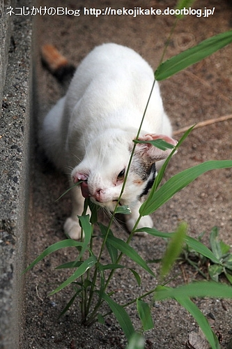 猫じゃらしとの格闘。