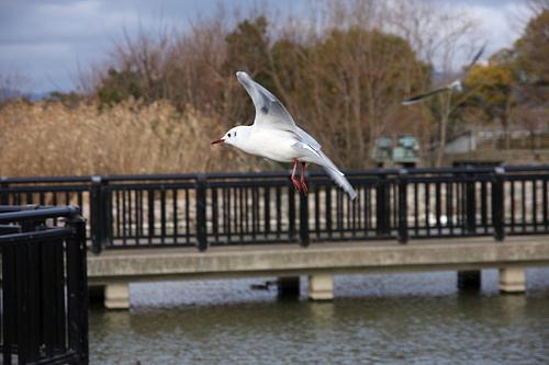 ユリカモメの飛翔。