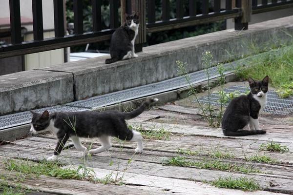 子ネコたち。その5 ハチワレ子ネコ3匹