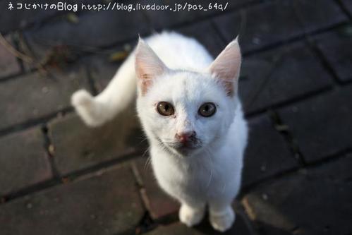 ぼくらはみんな生きている。その6 白子ネコ