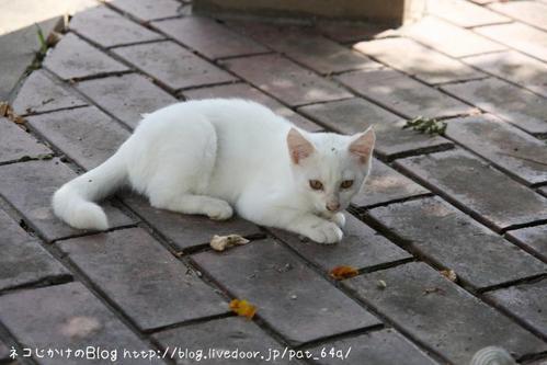 子ネコ祭り。その4 白子ネコ