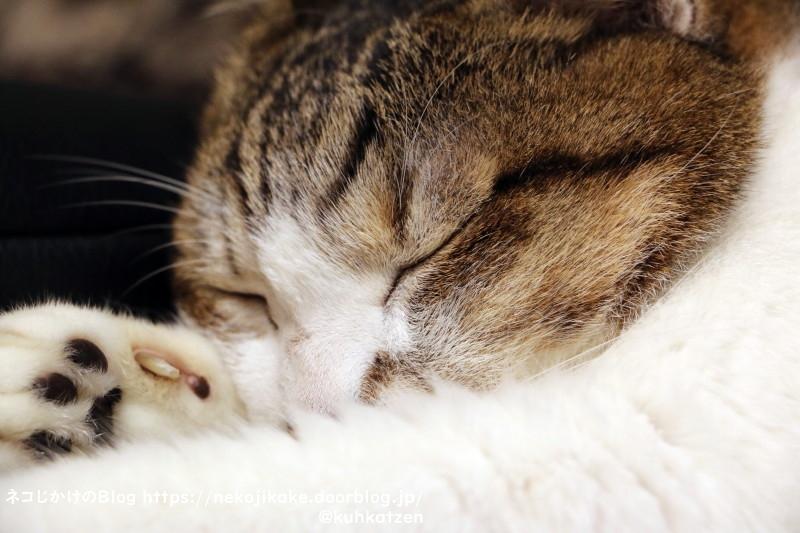 2021090603寝る猫。1
