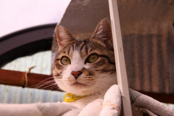 ネコの気象予報士。シマ3