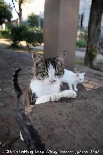 ぼくらはみんな生きている。その5 キジトラ白子ネコ