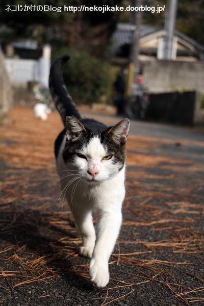 2017012204歩いてくる猫。2