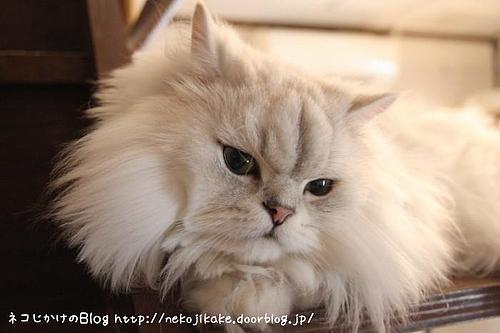キャッテリアクラウドナインのネコ、マシュマロ。