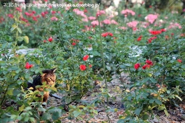2014072102バラが似合うネコ。