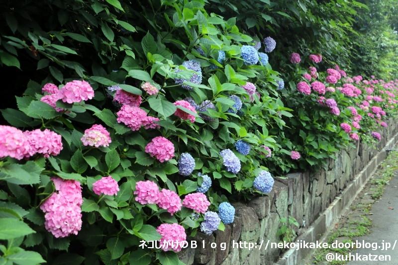 2020061608あじさいが咲く季節に。