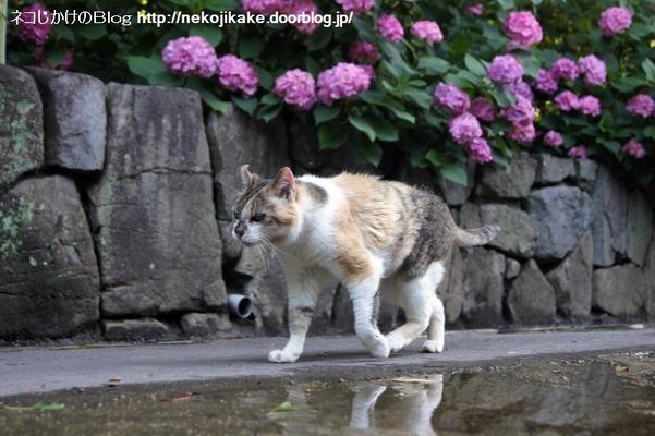 2016062309猫と水たまり。3