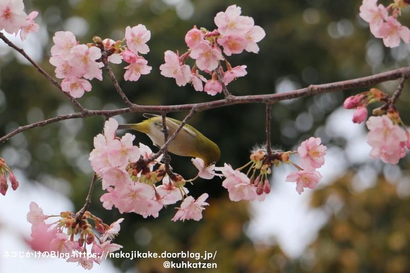 2021022805鳥たちも大好きな桜の花。2