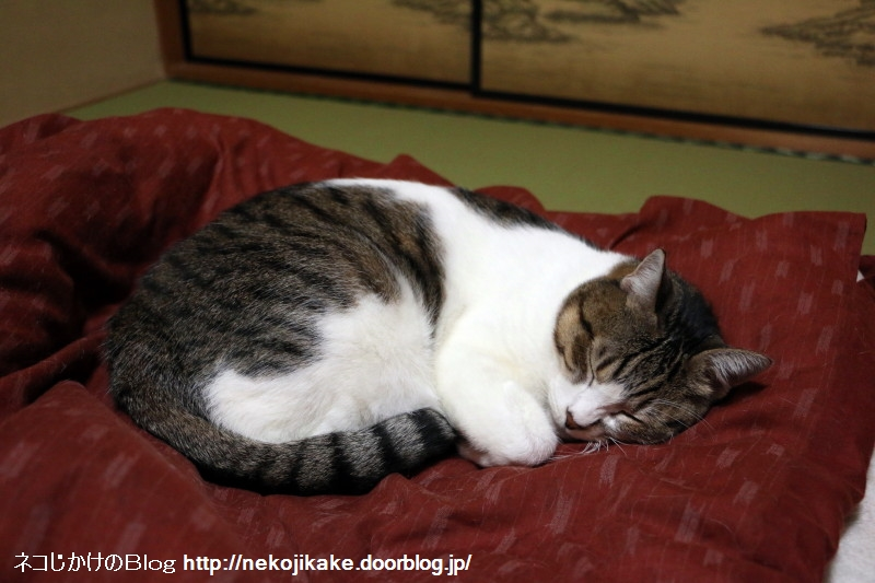 2016102708猫が寝ている時に遭遇したら、撮らずにいられるだろうか。