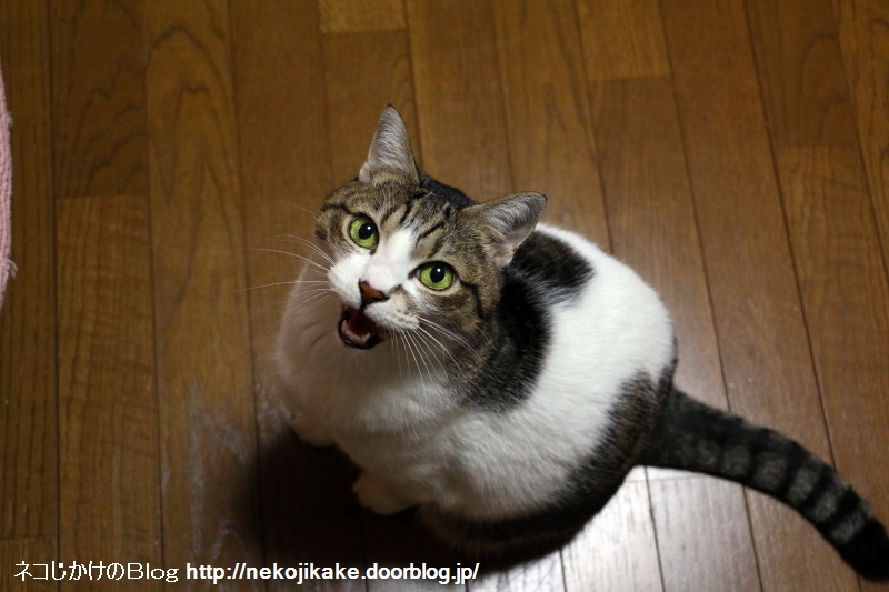 2016111101鳴く猫。