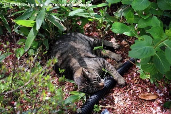 2016041510起きる猫、寝てる猫。5