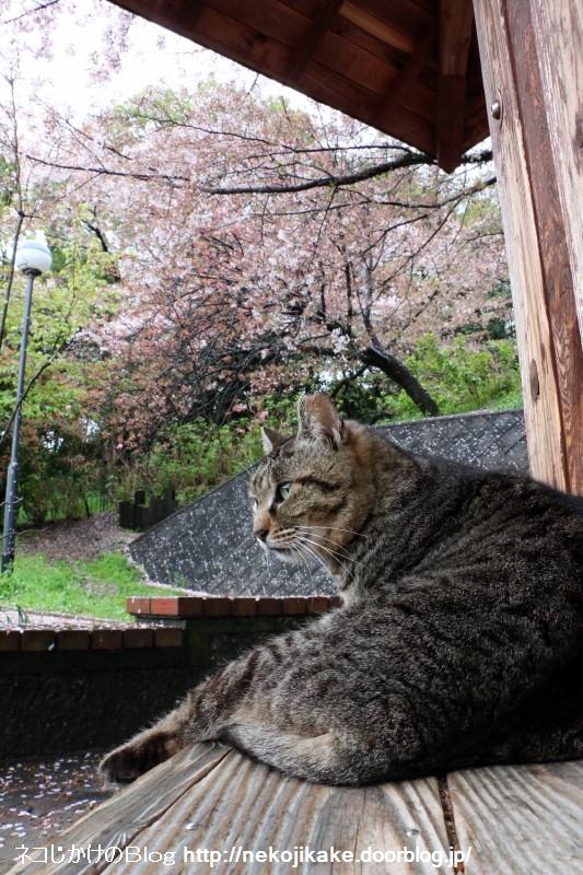 2015041005雨中猫あり。4