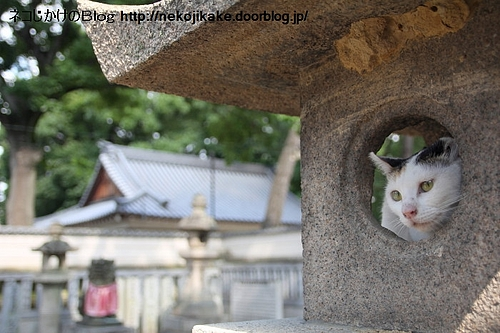 神社に生きるネコ。