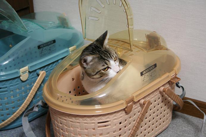 ネコたちと筋トレ。シマ