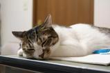 食後のネコ。シマ