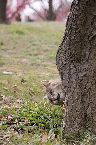 大きな梅の木の下で。