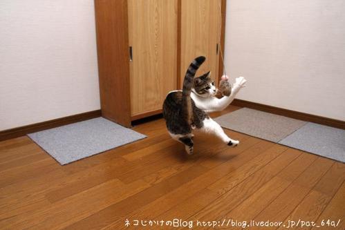 ネコは動物です。その1 シマ