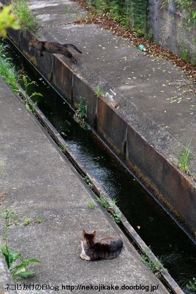 2016052910猫が川を越える。1
