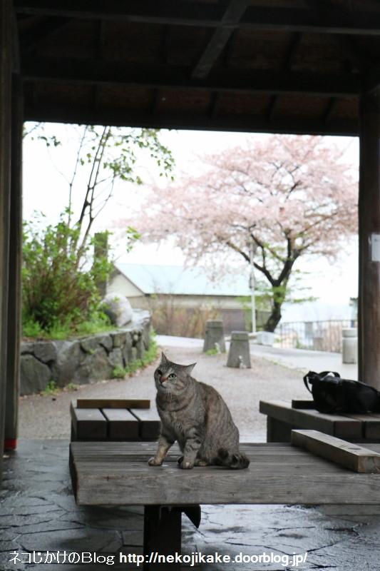 2015041007雨中猫あり。6