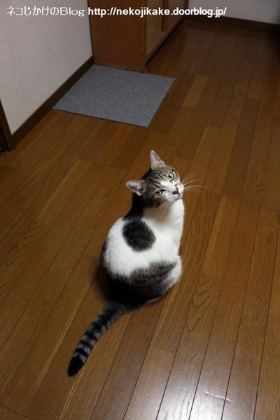 2016082706猫なら鳴けよ、鳴けばわかるさ。1
