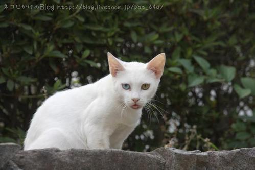 姫路に行ったら。その4 オッドアイの白猫