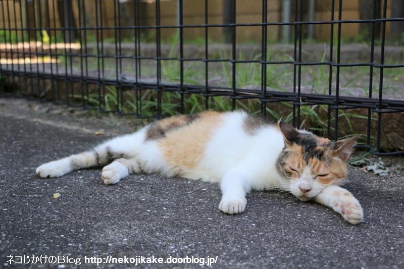 2015071407納涼 外猫の場合。1
