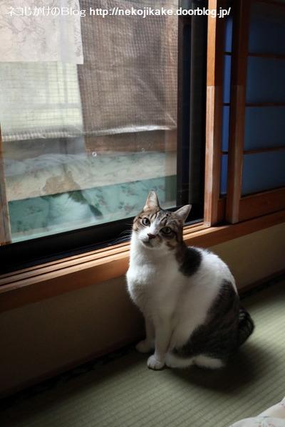 2016120901窓際のシマちゃん。1
