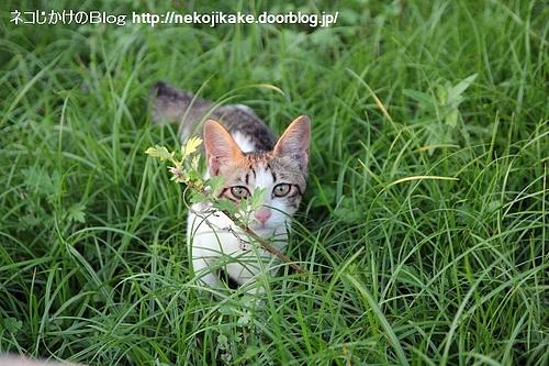 草原の小さな猫。
