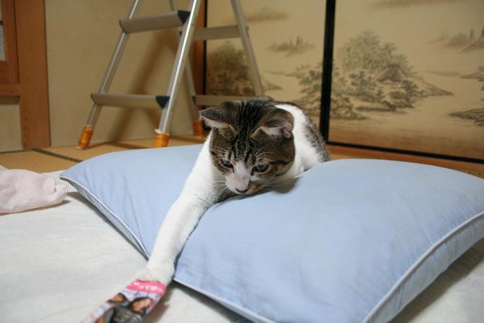 ネコ遊び。シマ