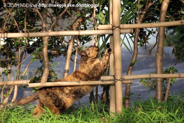 2014053002隣の竹垣に猫立てかけたのは・・・。