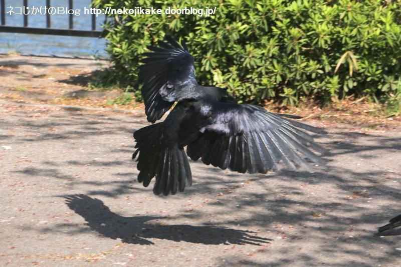 2019042009黒い鳥。1