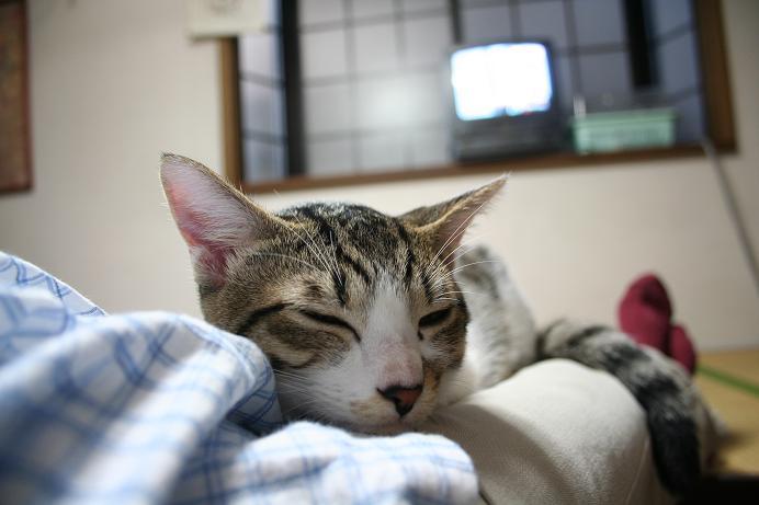 ネコたんぽ。シマ